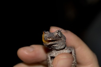hygienic gecko (strophurus sp.)