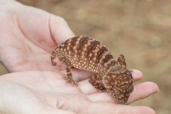 knobtail gecko (nephrurus sp.)