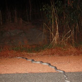 oenpelli python (morelia oenpelliensis)